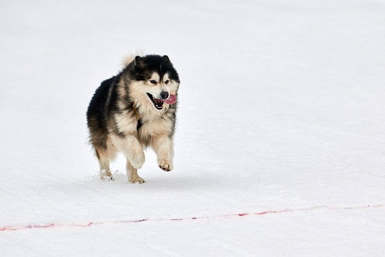 alaskan na śniegu